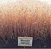 Озимая пшеница Мелодия Одесская 1 репр безостая