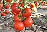 Чинто F1 100 шт семена томата высокорослого Rijk Zwaan Голландия, фото 2