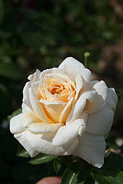 Лайонз роуз