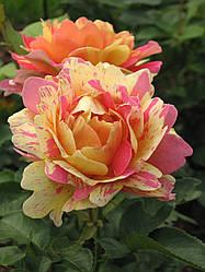 Роз дэ Цистресьен