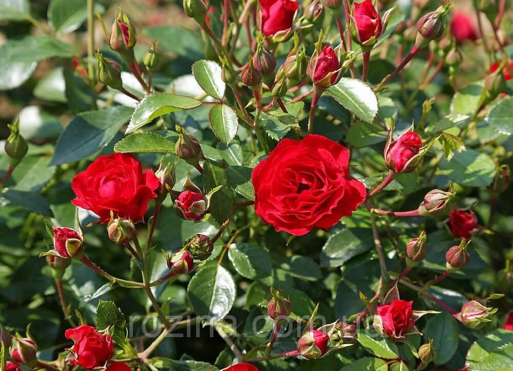"""Саджанці троянди """"Ред Каскад"""""""