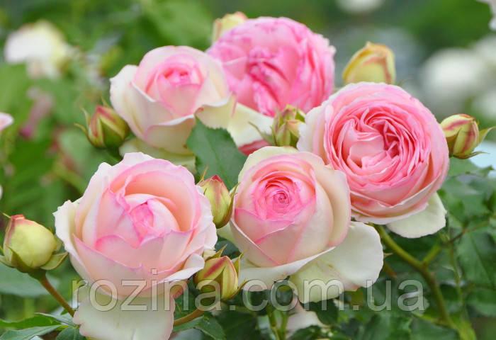 Еден троянд