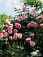 Еден троянд, фото 6