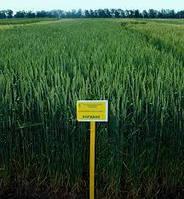 Насіння пшениці озимої Богдана (Еліта)