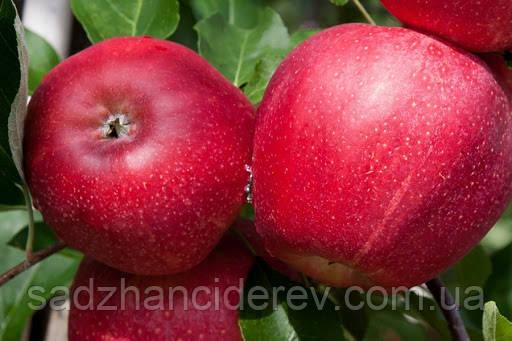 Саджанці яблунь Гала Шнига