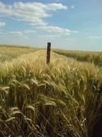 Семена озимой пшеницы Еліта Богдана