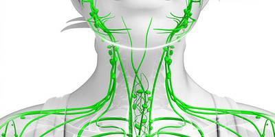 Все, что вам нужно знать о лимфатической системе