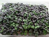 Семена фиолетового базилика 100г на микрозелень