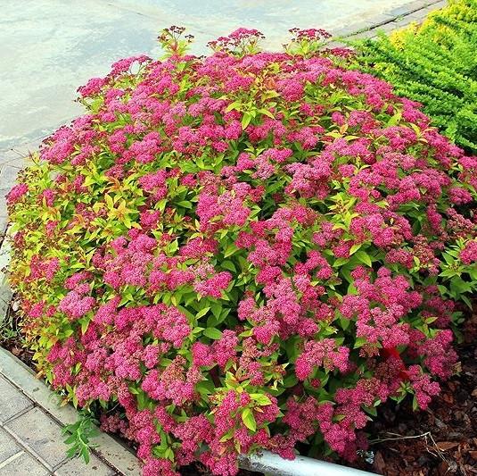 Саджанці спіреї рожевої бумальда Anthony Waterer (Антони Ватерер)