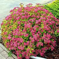 Саджанці спіреї рожевої бумальда Anthony Waterer (Антони Ватерер), фото 1