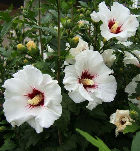 Саджанці гібіскусу сирійскького садового Melrose