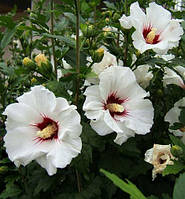 Саджанці гібіскусу сирійскького садового Melrose, фото 1