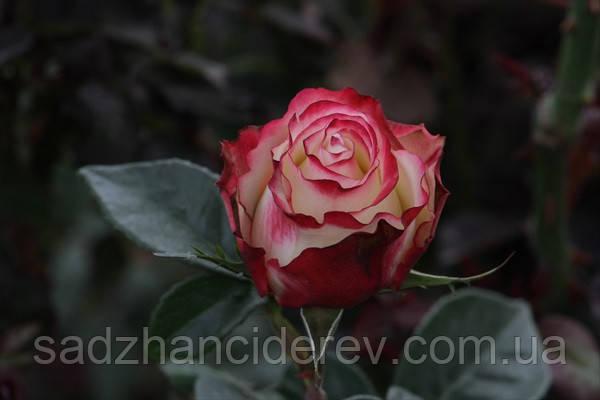 Саджанці троянд Світнес (Sweetness, Cвитнес)