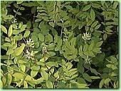 Софора желтеющая ,. корень сухой резанный( 10 грамм)
