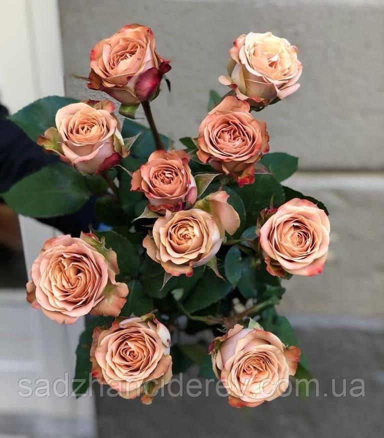 Саджанці троянд Капучіно (Cappucino,Капучино)