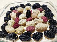 Черенки шелковицы, фото 1