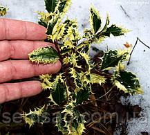 Падуб остролистный Ферокс Маргината \ Ilex 'Ferox argentea' (  саженцы 1 год р9), фото 3