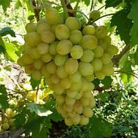 Виноград 'Благовест' - 1 год (ЗКС), фото 1