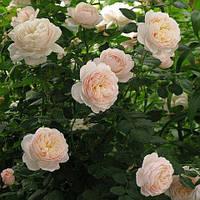 Троянда англійська Крокус Роуз