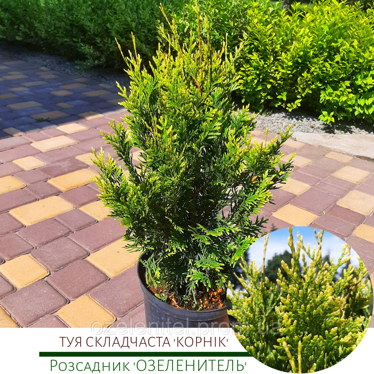 Туя складчатая 'Корник' / Thuja occidentalis 'Kornik' / Туя складчата 'Корнік'