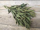 Сухоцвіт кропиви натуральної , 10 шт в пучку, 15 грн, фото 3
