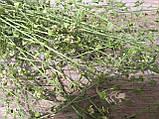 Сухоцвіт грициків Capsella (пастушья сумка), 35 см висота в'язанки, 20 грн, фото 2