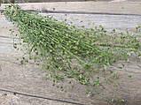 Сухоцвіт грициків Capsella (пастушья сумка), 35 см висота в'язанки, 20 грн, фото 3