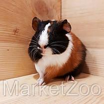 Морская свинка,мальчик,возраст 1,5мес, фото 3