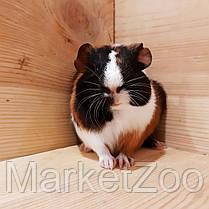 Морская свинка,мальчик,возраст 1,5мес, фото 2