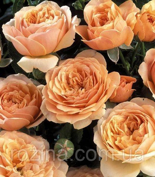 """Саджанці троянди """"Шерлок Холмс"""""""