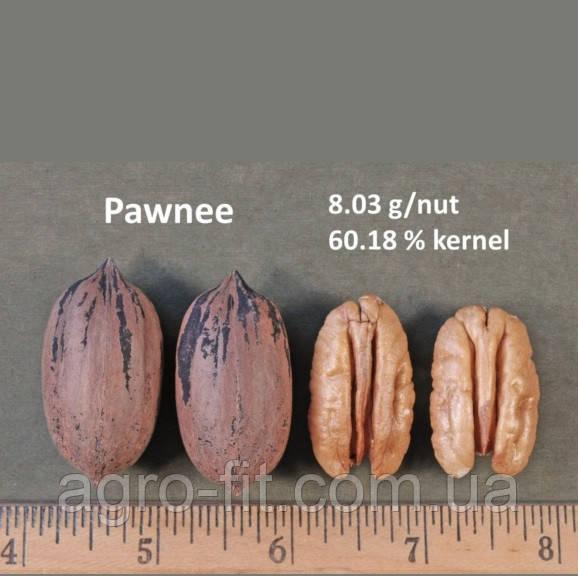 Саженцы ореха Пекан сорт Pawnee