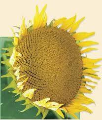 Семена подсолнечника  НК Аллего (обработан Круизером)