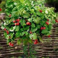 Саджанці малинового дерева Таруса