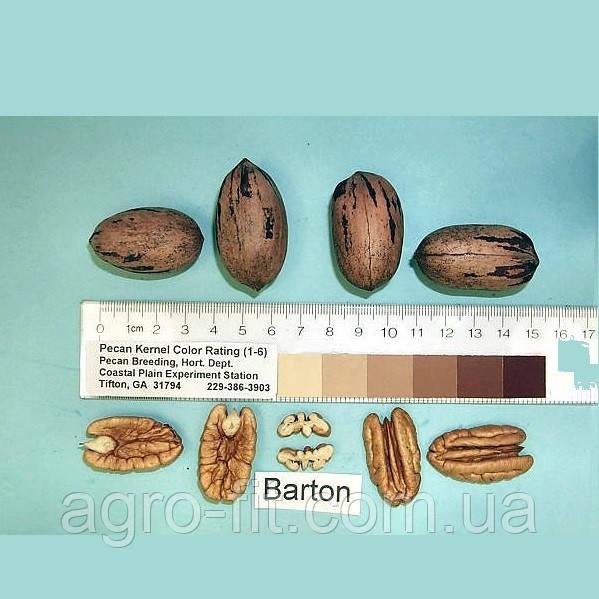 Саженцы ореха Пекан сорт Barton