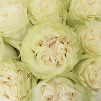 Саджанців троянд Мунстоун (Moonstone)
