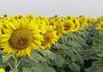Семена подсолнечника  Санлука РМ , фото 2