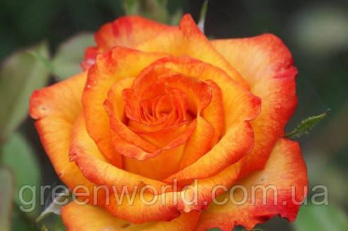 Саженцы оранжевой розы Хай Меджик