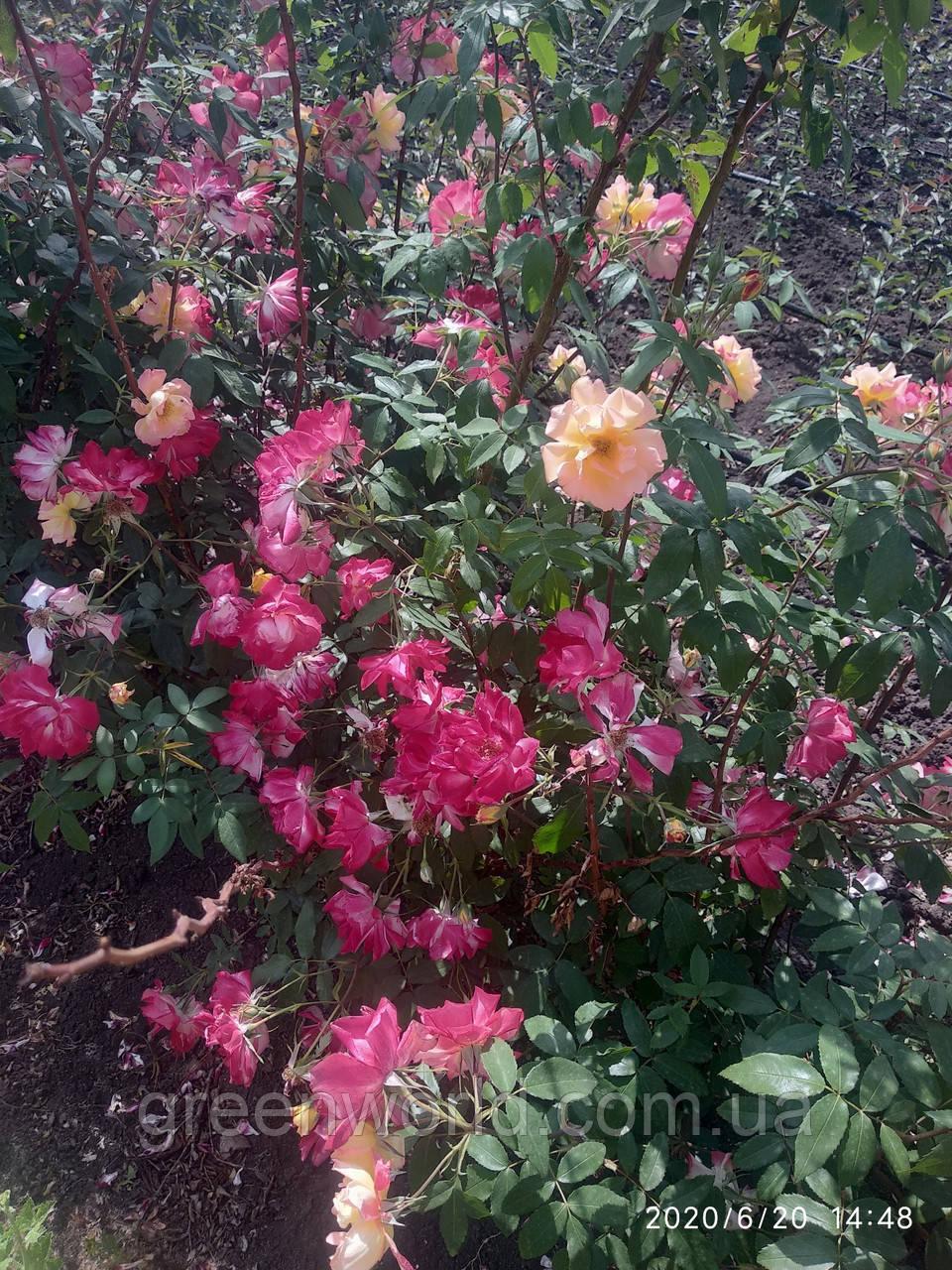 Саженцы вьющихся роз жёлтая и малиновая 2в1