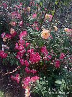 Саженцы вьющихся роз жёлтая и малиновая 2в1, фото 1