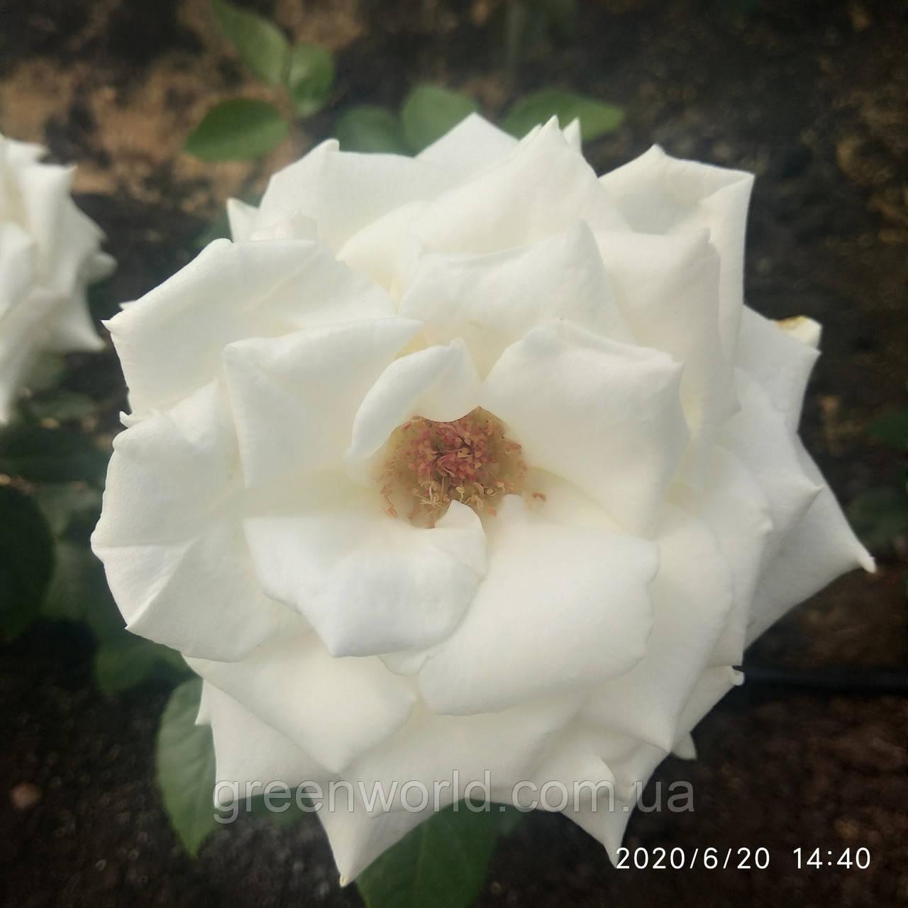 Садженцы роз Флорибунда