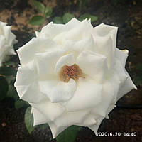 Садженцы троянд Флорибунда
