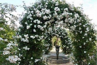 Плетисті троянди