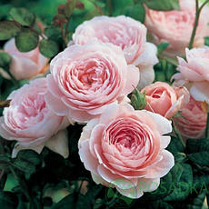 Англійські троянди