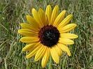 Семена подсолнечника  НК Ферти