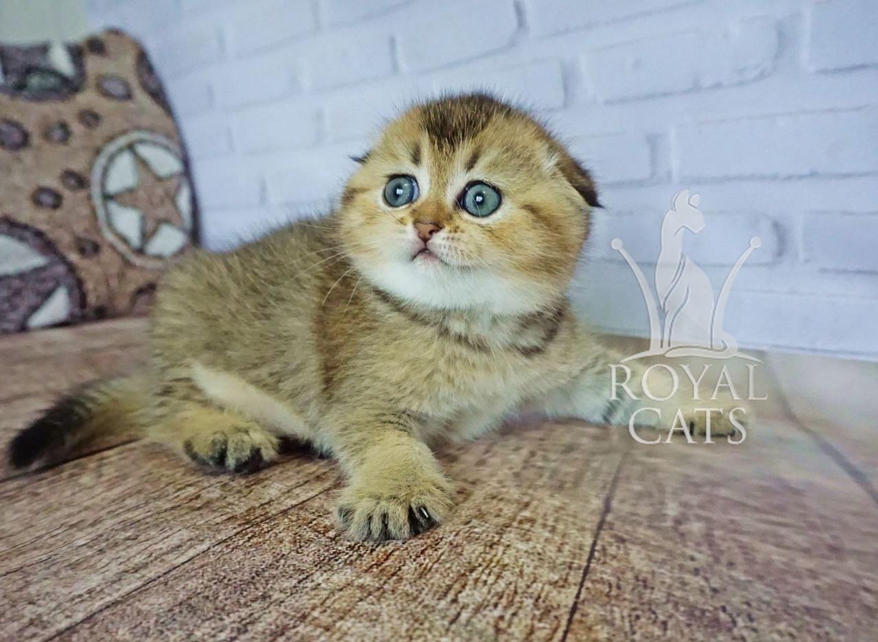 Кошечка шотландская вислоухая шиншилла, рождена 19/04/2020. Питомнике Royal Cats. Украина, Киев