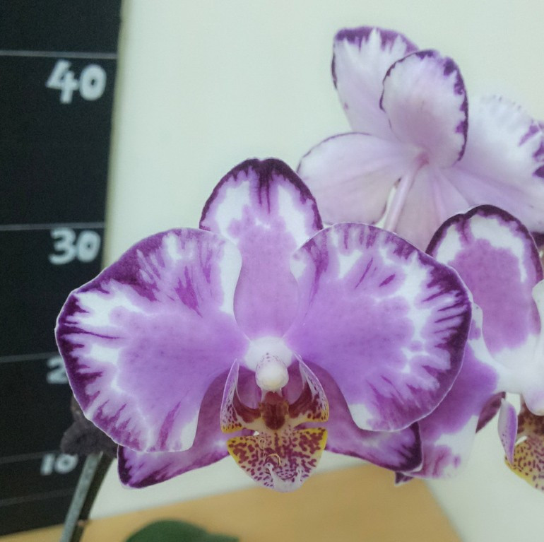 Подростки орхидеи. Сорт Glacier (Капучино), горшок 1.7 без цветов