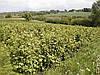 Для тих, хто займається вирощуванням смородини - технологія чорної на Поліссі