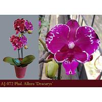 Уценка, почистить корни. Подростки орхидеи. Сорт Dracarys, горшок 1.7 без цветов