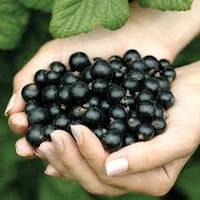 Що потрібно знати про технологію вирощування смородини чорної у Лісостепу?