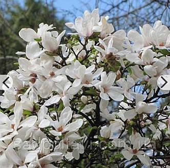 Магнолия Кобус / Magnolia kobus/ в горшке 5л, фото 2